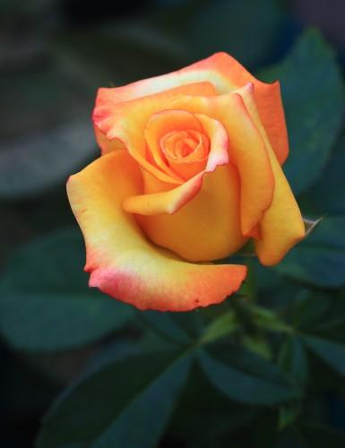 una rosa 1
