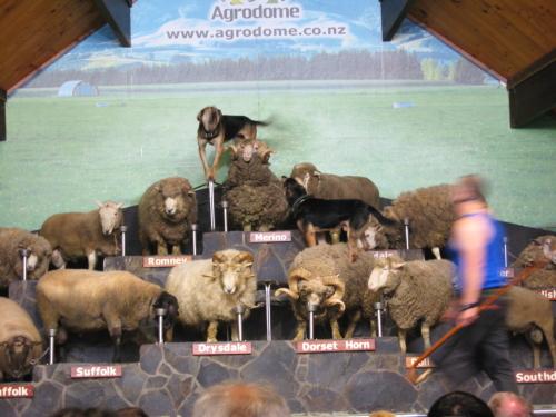berbagai jenis domba