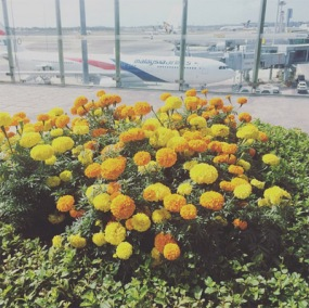 kebun-bunga-matahari-changi-2