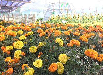 kebun-bunga-matahari-changi-3