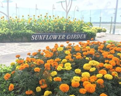kebun-bunga-matahari-changi-4