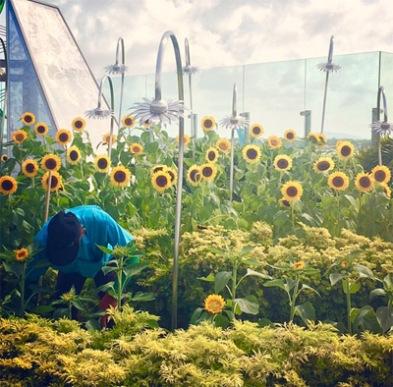 kebun-bunga-matahari-changi-5