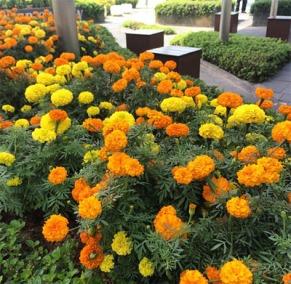 kebun-bunga-matahari-changi-6