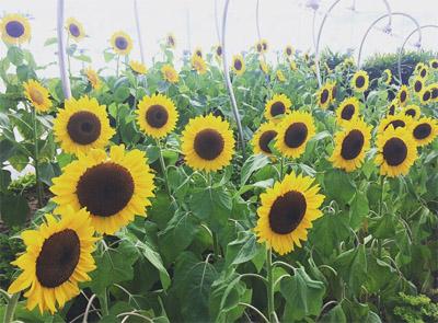 kebun-bunga-matahari-changi-9