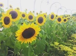 Kebun Bunga Matahari diChangi